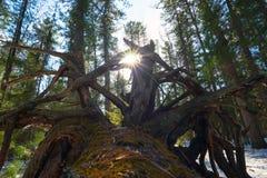 El sol brillante entre las raíces de un cedro caido en bosque del invierno Fotos de archivo