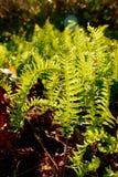 El sol de la madrugada proporciona un contraluz para los helechos jovenes, verdes Fotografía de archivo libre de regalías