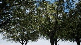 El sol de la primavera que brilla suavemente a trav?s de las ramas verdes frescas de un ?rbol de haya grande almacen de video