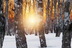 El sol de la tarde del ajuste en la arboleda del invierno Imagenes de archivo
