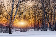 El sol de la tarde del ajuste en la arboleda del invierno Imagen de archivo libre de regalías