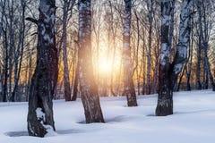 El sol de la tarde del ajuste en la arboleda del invierno Imagen de archivo