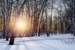 El sol de la tarde del ajuste en la arboleda del invierno Fotografía de archivo libre de regalías