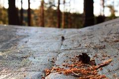 el sol de la tarde del ajuste ilumina el cono del pino, que miente en el toldo estirado sobre el fuego de principios de junio, el imágenes de archivo libres de regalías