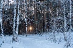 El sol de la tarde es brillante a través de árboles en bosque del invierno Fotos de archivo libres de regalías