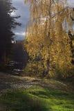 El sol ilumina las hojas amarilleadas en el árbol de abedul, colocándose en la orilla del lago del bosque Imágenes de archivo libres de regalías