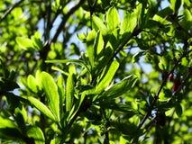 El sol ilumina las primeras hojas del verde Imágenes de archivo libres de regalías