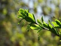 El sol ilumina las primeras hojas del verde Fotos de archivo libres de regalías