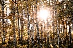 El sol poniente sobre el bosque del abedul Imágenes de archivo libres de regalías