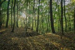 El sol se está rompiendo a través de los árboles en el bosque verde Imagen de archivo