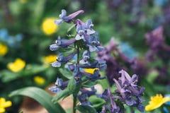 El solida del Corydalis en el bosque, flor de la primavera florece en el bosque, tiro macro Fotos de archivo libres de regalías