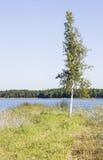 El solo árbol de abedul delgado crece en la costa del lago Imagen de archivo libre de regalías