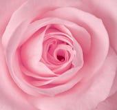 El solo color de rosa se levantó Imagen de archivo