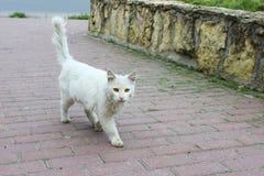 El solo gato sin hogar blanco con los ojos anaranjados está presentando al aire libre en un día soleado fotografía de archivo libre de regalías