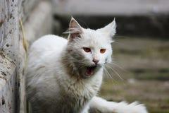 El solo gato sin hogar blanco con los ojos anaranjados está presentando al aire libre en un día soleado fotos de archivo libres de regalías