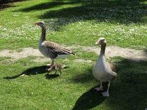 El solo niño ducks a la familia Fotos de archivo