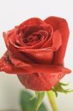 El solo rojo se levantó Imagen de archivo libre de regalías