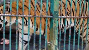 El solo tigre de Bengala del primer camina detrás del enrejado de la jaula almacen de video