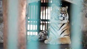 El solo tigre de Bengala del primer se lame en su jaula metrajes