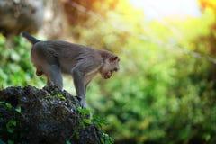 El soporte del mono en piedra grande se prepara para saltar, Bali Indonesia imagen de archivo