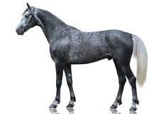 El soporte gris del caballo del deporte aislado en el fondo blanco Foto de archivo