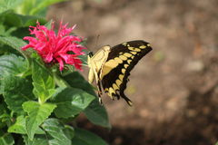 El sorber de una flor Imagen de archivo libre de regalías