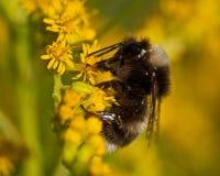 El soroeensis quebrado-ceñido del Bombus del abejorro Foto de archivo