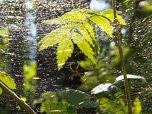 El spiderweb multicolor se encendió por el sol en el bosque oscuro imagen de archivo