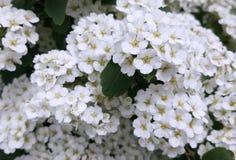 El spirea blanco florece la foto foto de archivo