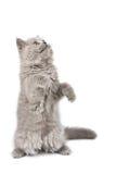 El standign del gatito en él es patas que miran para arriba Foto de archivo