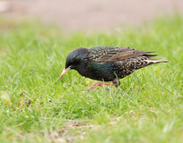 El starling europeo Imágenes de archivo libres de regalías