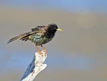 El starling europeo Fotografía de archivo libre de regalías
