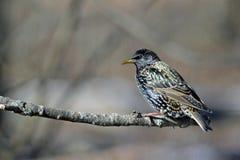 El starling europeo Fotografía de archivo