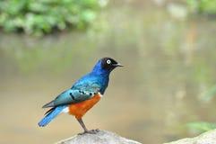 El starling magnífico Foto de archivo