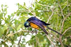 El starling magnífico preening Imagen de archivo