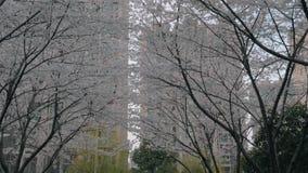 El steadicam del cardán tiró del callejón con los árboles florecientes de Sakura en puesta del sol metrajes