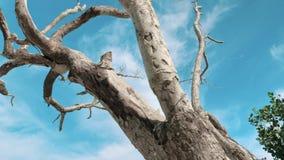 El steadicam del cardán tiró de un árbol seco, muerto con las ramas abstractas contra un cielo azul Tronco de árbol seco solo metrajes