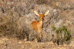 El Steenbok fotografió en el parque nacional del Karoo cerca del oeste de Beaufort en Suráfrica Imágenes de archivo libres de regalías