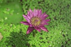 El stellata del Nymphaea o el lirio de agua con las aletas rosadas y el polen amarillo es una planta de agua con un tronco subter imagen de archivo libre de regalías