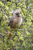 El striatus manchado de Mousebird Colius se encaramó en una rama de un spekboom imágenes de archivo libres de regalías