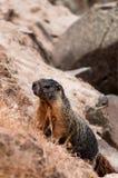 El subir de la marmota (ardilla de roca gigante) Foto de archivo libre de regalías