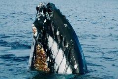El subir principal de la ballena jorobada en el océano polinesio azul profundo Imagen de archivo libre de regalías