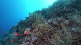 El submarino relaja el vídeo sobre el arrecife de coral en transparente puro del Mar Rojo almacen de metraje de vídeo