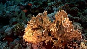 El submarino relaja el vídeo sobre el arrecife de coral en transparente puro del Mar Rojo almacen de video
