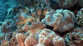 El submarino relaja el vídeo sobre el arrecife de coral en transparente puro del Mar Rojo metrajes