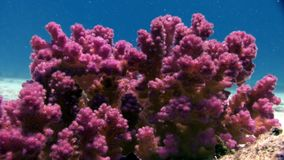 El submarino relaja el vídeo sobre coral violeta púrpura en transparente puro del Mar Rojo almacen de video
