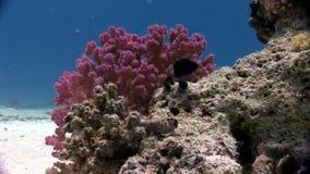 El submarino relaja el vídeo sobre coral violeta púrpura en transparente puro del Mar Rojo metrajes