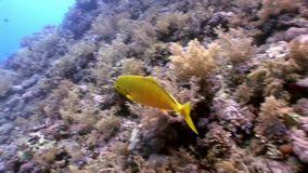 El submarino relaja el vídeo sobre la naturaleza marina en transparente puro del Mar Rojo metrajes