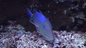 El submarino relaja el vídeo sobre pescados en arrecife de coral en transparente puro del Mar Rojo almacen de video