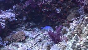 El submarino relaja el vídeo sobre pescados en arrecife de coral en transparente puro del Mar Rojo metrajes